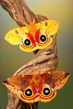 A pair of Io moths (male on the top)  ~ The eyespots are reported to have some hypnotizing properties.
