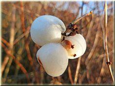 Gewöhnliche Schneebeere (Symphoricarpos albus) / Winter