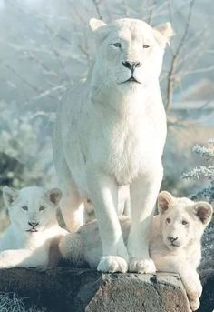 An albino lioness and her babies