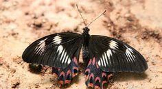 Newsela | Newsela | Scientists try to unravel the mystery of a butterfly's mimicry