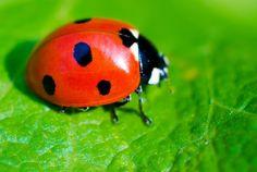 Le coccinelle sono generalmente considerate insetti alleati del contadino e del giardiniere. Come molte specie si nutrono di afidi o cocciniglie, parassiti