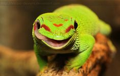 colorful lizards - Google Search