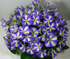 African Violet Chimera!!!Yukako Starter Plant!!!!!!#1