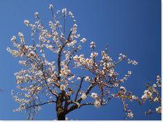 almendro - prunus dulcis