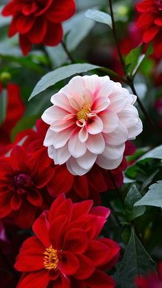 Dahlias- I don't plant them, I guess because they are bulbs, But the deep, dark red ones have been my favorite flower since I was a little girl and my sister planted them in her 4H garden. MB