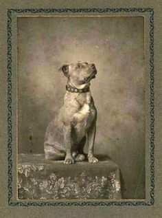 Vintage Pit Bull.  Such a proud, lovable breed...