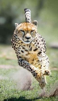 A Cheetah Going After Prey. Beautiful Cats, Animals Beautiful, Big Cats, Cats And Kittens, Animals And Pets, Cute Animals, Serval, Majestic Animals, Tier Fotos
