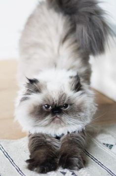 Persian Cats, Cute Little Animals, Beautiful Cats, Animal Kingdom, Cats And Kittens, Cute Cats, Fluffy Kittens, Cute Things, Animals