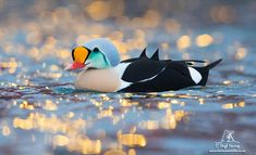 Hugh Harrop Wildlife minutes ago Glittering prize: a beautiful drake King Eider photographed in Batsfjord, Varanger, on our annual pho-tour. Pretty Birds, Beautiful Birds, Wildlife Photography, Animal Photography, Types Of Ducks, Duck Pictures, Rare Birds, Maltese Dogs, Duck Hunting