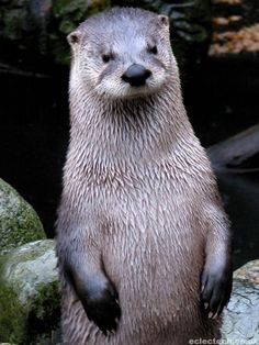 92fa0f42adf5 88 Best Otters are too cool images