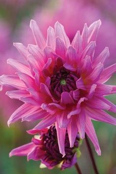 Dahlia Sugar Diamond'
