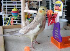 Super Pet! Cockatiels make great basketball players, and the best of friends!