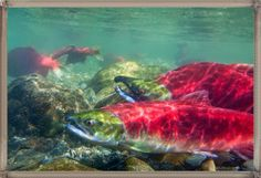 Red Salmon Pictures