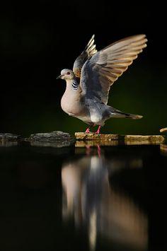 Turtle Dove (Streptopelia turtur) take off, Hungary