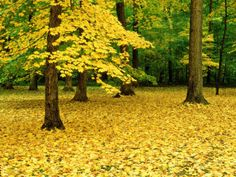 Maple Leaves and Trees in Fall Colour at Funks Grove, Il by Willard Clay Landscapes Photographic Print - 61 x 46 cm Oxford, Autumn Scenery, Great Paintings, Beach Landscape, Cool Posters, Color Photography, Amazing Nature, Frames On Wall, Nature Photos