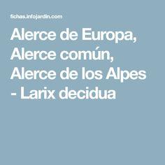 Alerce de Europa, Alerce común, Alerce de los Alpes - Larix decidua
