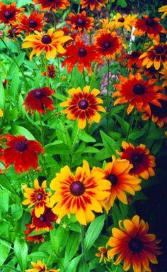 Flowers - RUDBECKIA - RUSTIC COLORS #flowersgarden #FlowerGardening