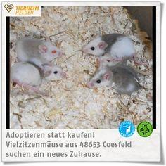 Aus einer Sicherstellung wartet nun eine Jungs- und eine Mädelsbande Vielzitzenmäuse im Tierheim Coesfeld auf ein neues Zuhause.  http://www.tierheimhelden.de/kleintier/tierheim-coesfeld/vielzitzenmaeuse/vielzitzenmaeuse/8419-2/