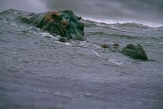 Top 100 Of The Most Influential Photos Of All Time - Surfing Hippos, Michael Nichols, 2000