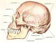 Wyniki Szukania w Grafice Google dla http://www.daviddarling.info/images/human_skull_side.jpg