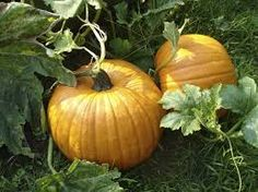 Image result for istock pumpkins in a  basket