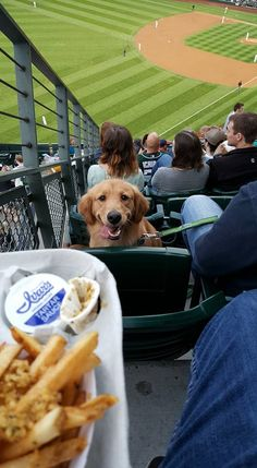 It was Bring Your Dog Night at the Seattle Mariners game last night. He stared at me the whole time like this. - more at megacutie.co.uk