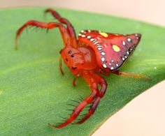Triangular Spider
