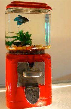 Cute betta fish i like on pinterest betta betta fish for Gumball machine fish tank
