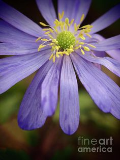 Anemone In The Garden Shadows by Dorothy Lee #flowers #homedecor #florals #floral #fineart #greetingcards #nature #naturephotography #photography