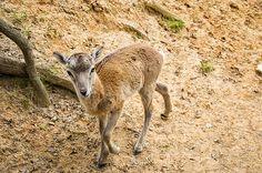 Barbary Sheep Kid by Chris Flees #sheep #kid