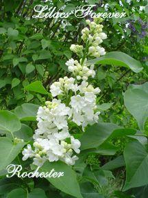 single white lilacs hardy lilac bush