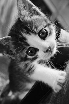 34 Ideas Quotes Happy Cute Sweets For 2019 Cute Cats And Kittens, I Love Cats, Crazy Cats, Cool Cats, Kittens Cutest, Animals And Pets, Funny Animals, Cute Animals, Kitten Biting