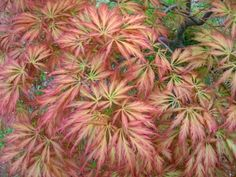 Pink Lace Japanese Maple