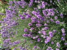 90 Besten Lavender Love Bilder Auf Pinterest Lavendelbluten