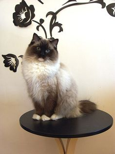 Meet the Cat Breed: The Ragdoll at BaxterBoo  She is Beautiful