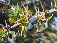 CALAFATE Berberis microphylla - Wikipedia, la enciclopedia libre