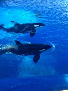 killer whales mate for life #mate #life #forever #love #romance #monogamy