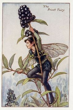 The Song Of The Privet Fairy, an autumn Flower Fairy poem: Here in the wayside hedge I stand, And look across the open land; Rejoicing thus, unclipped and free, I think how you must envy me, O garden Privet, prim and neat, With tidy gravel at your feet!