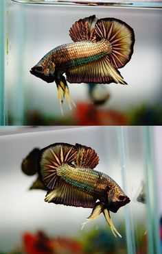 About Betta Fish : Photo Pretty Fish, Cool Fish, Beautiful Fish, Animals Beautiful, Betta Fish Tank, Beta Fish, Colorful Fish, Tropical Fish, Poisson Combatant