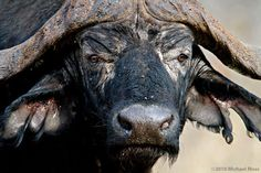 "64 Me gusta, 1 comentarios - Michael Moss (@mytmoss) en Instagram: ""African Buffalo staredown - Sabi Sands, South Africa - #buffalo #africanbuffalo #capebuffalo #bull…"" African Buffalo, Chief Seattle, Cow, Beast, Instagram, Animals, Animales, Animaux, Animal"
