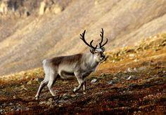 Sorry kids, Santa is running out of reindeers. TreeHugger.com