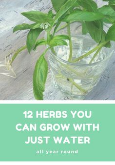 Hydroponic Gardening 12 herbs you can grow with just water all year round Indoor Vegetable Gardening, Container Gardening, Gardening Tips, Organic Gardening, Kitchen Gardening, Urban Gardening, Organic Farming, Hydroponic Farming, Hydroponic Growing