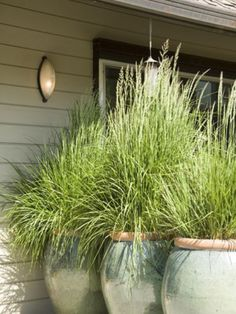 Grown lemon grass in urns for privacy and keep biting insects away