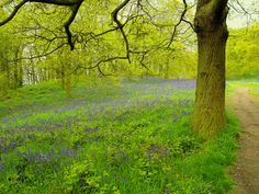Bluebells ~ Great Ayton Wood North Yorkshire.
