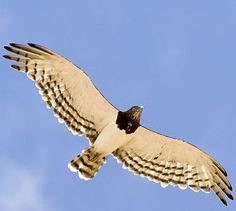 Circaetus pectoralis             Black-chested Snake Eagle                   Swartborsslangarend