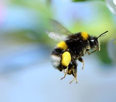 Research – Can bumblebees really fly? | Apis- Please sign petition to help ban bee killing pesticides in The Biggest Little City on Earth, Reno, Nevada. Let our city councilmen and women know that as a tourist, you would LOVE to have Reno be a BEE Friendly City and ban NEONICS NOW! https://secure.avaaz.org/en/petition/Reno_Nevada_City_Council_Ban_the_use_of_Bee_Killing_Pesticides_and_Herbacides_on_City_Property/?nbjecib