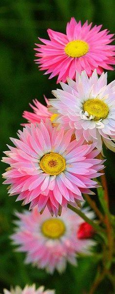 Garden Flowers - Annuals Or Perennials Rhodanthe Sp Paper Daisies