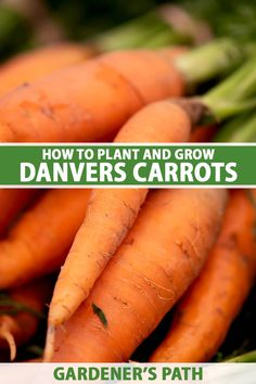What's up, Doc? Sweet, small core carrots from the garden, that's what, when you plant 'Danvers' carrots from seed. These orange heirlooms are extra productive and can grow in clay or heavy soil. New gardeners, check these out! Then get the best yield and taste with our growing tips. #carrots #growyourown #gardenerspath Farm Pictures, Garden Pictures, Growing Vegetables At Home, Vegetable Garden Tips, Carrot Seeds, Grow Your Own Food, Organic Vegetables, Pest Control, Gardening Tips