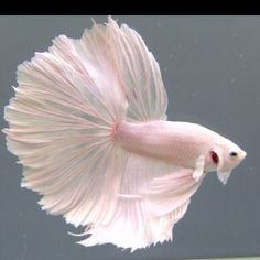 the ballerina fairy princess of fishies. Not quite sea dweller, but close.