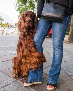 "thedogist:  ""Biron, Irish Setter (4 y/o), Piazza Riforma, Lugano, Switzerland • ""Guardia mamma."" """